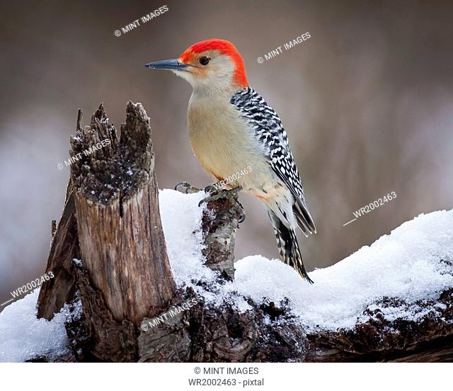 Red Headed Woodpecker perching on a branch covered in snow