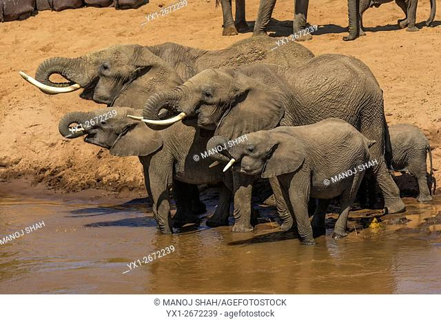 Elephant herd drinking from Mara River. Masai Mara National Reserve, Kenya