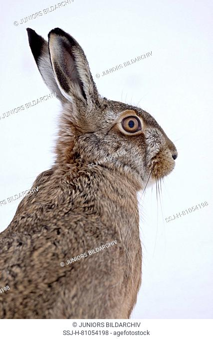 European Brown Hare (Lepus europaeus). Portrait of adult in winter. Germany