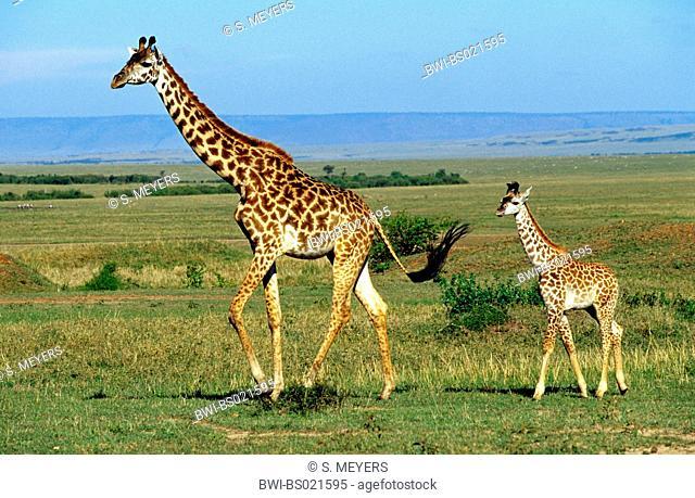 Masai giraffe (Giraffa camelopardalis tippelskirchi), giraffe and calf, Kenya, Masai Mara National Park
