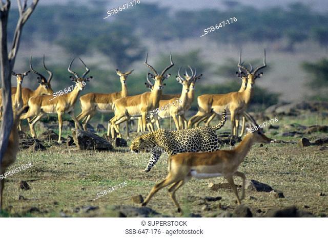 Leopard Stalking Impalas