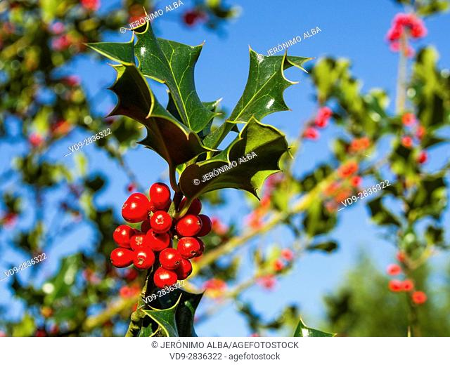 Berries and Leaves of Holly Tree. Ilex aquifolium. Natural Park Basque Country, Spain, Europe