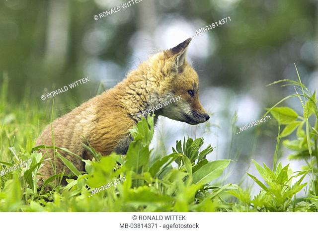 Meadow, Rotfuchs, Vulpes vulpes, young,  Profile,   Nature, fauna, animal, mammal, wild animal, carnivore, fox, young, puppy, interest, vigilance, observation