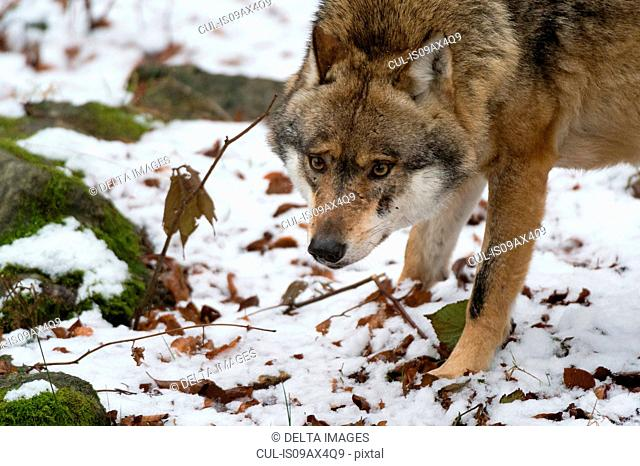 Grey wolf (Canis lupus) snow covered land, Bavarian forest national park, Bavaria, Germany