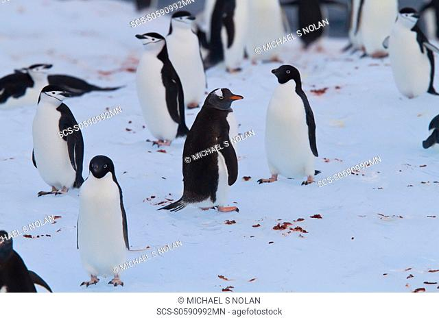 Three species of brushtail penguins gentoo, Adelie, and chinstrap all together on an iceberg in the Weddell Sea, on the eastern side of the Antarctic Peninsula...