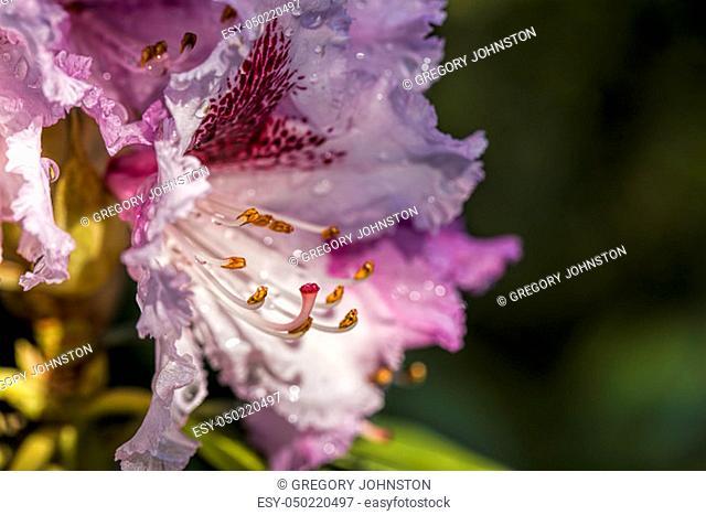 A macro photo of azaleas at Manito Park in Spokane, Washington