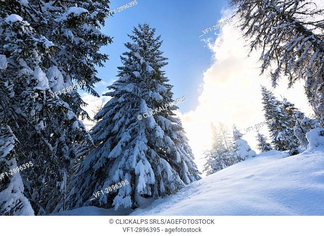 Europe, Italy, Veneto, Belluno, Duran pass. Forest of firs snowcapped, Dolomites