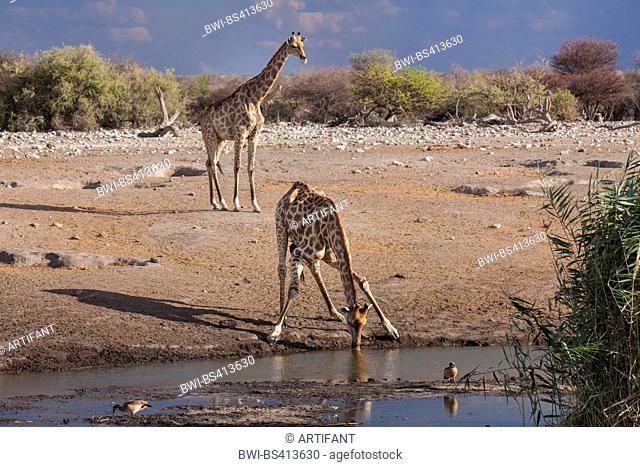Angolan giraffe, Smoky giraffe (Giraffa camelopardalis angolensis), two Angolan giraffes drinking and waiting at the water hole, Namibia, Etosha National Park