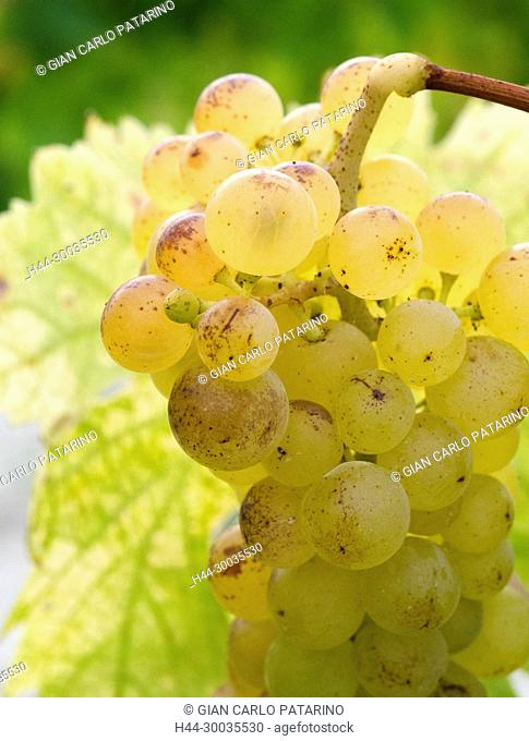 Italy, fruits of Piedmont Langhe-Roero and Monferrato on the World Heritage List UNESCO. A bunch of Moscato d'Asti