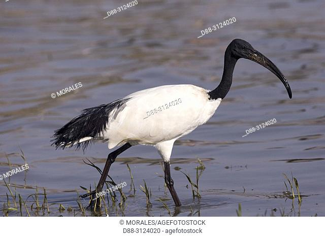 Africa, Ethiopia, Rift Valley, Ziway lake, African sacred ibis (Threskiornis aethiopicus), on the ground