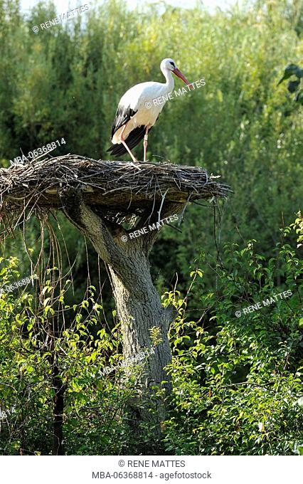 France, Haut Rhin, Hunawihr, centre for reintroduction of storks in Alsace region, White Stork (Ciconia ciconia)