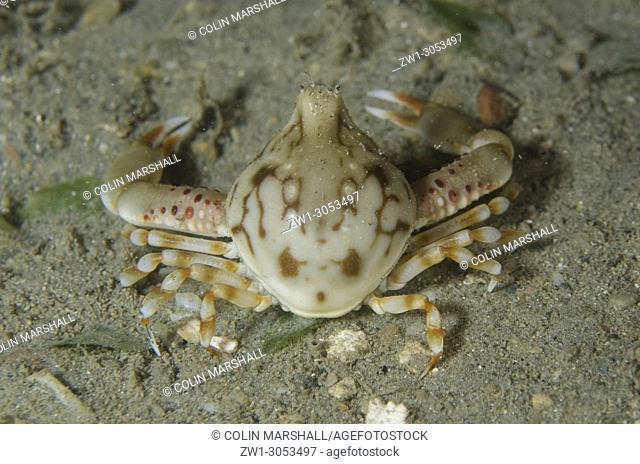 Pebble Crab (Leucosia sp. ), Night dive, Tasi Tolu dive site, Dili, East Timor (Timor Leste)