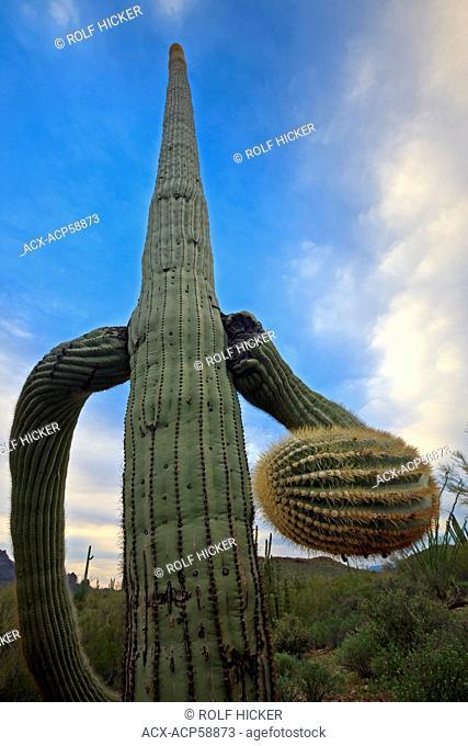 Saguaro Cactus, Carnegiea gigantea, in Organ Pipe National Monument, Arizona, USA