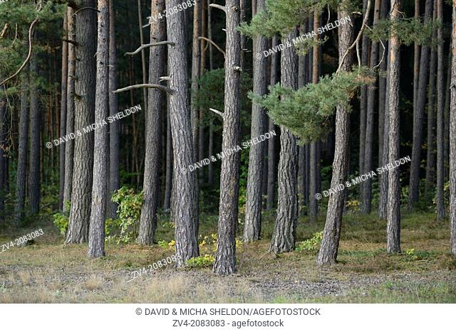 Landscape of a scots pine (Pinus sylvestris) tree trunks in a forest, Upper Palatinate, Bavaria, Germany