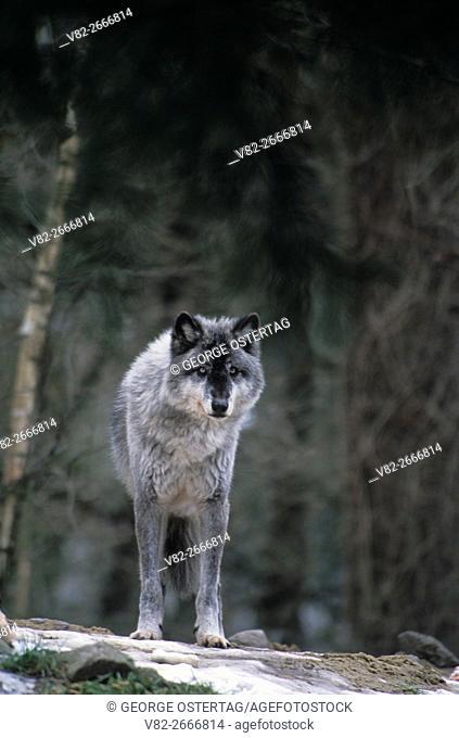 Gray wolf, Oregon Zoo, Washington Park, Portland, Oregon