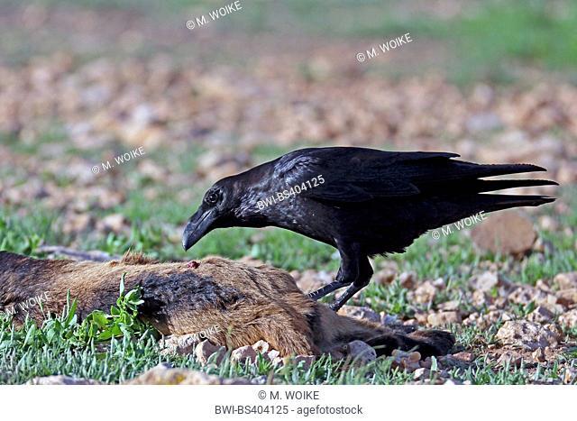 common raven (Corvus corax), feeds on a goat, Canary Islands, Fuerteventura