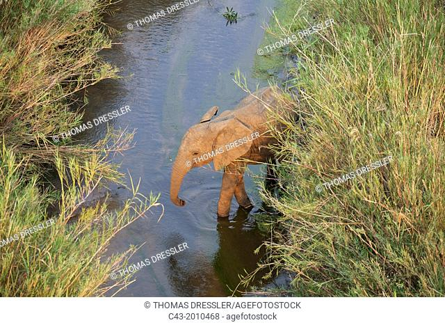 African Elephant (Loxodonta africana) - Subadult without tusks at a reed-grown (Common Reed, Phragmites australis) island in the Olifants River