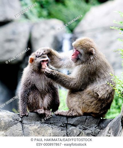 Two Japanese snow monkeys Macaca fuscatasitting on rock formation grooming, while one holds the others head and trying to put something in his mouth