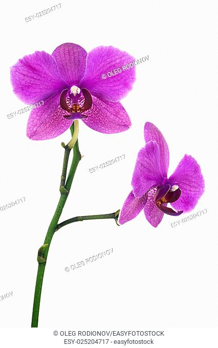 Blooming twig of lilac orchid isolated on white background. Closeup