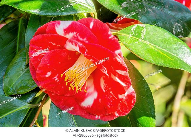Camellia japonica 'Madame Picouline' 1855