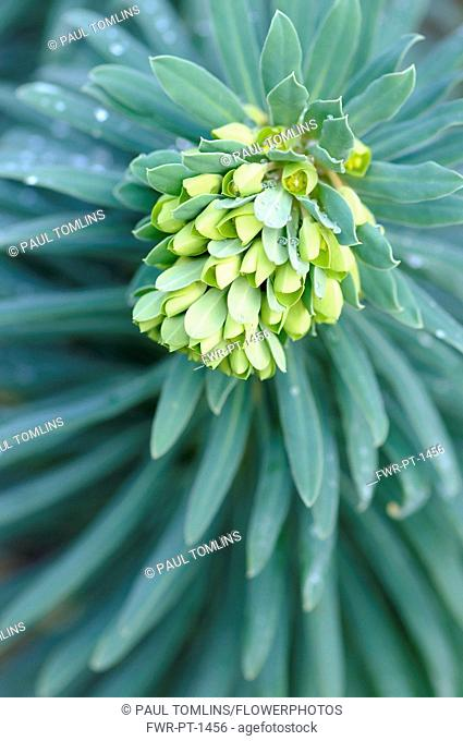 Mediterranean spurge, Euphorbia characias wulfenii, Top close view of unfurling flowerhead over a whorl of grey green leaves