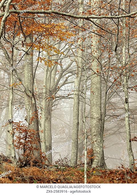 Autumn misty beech forest (Fagus sylvatica). Montseny Natural Park. Barcelona province, Catalonia, Spain