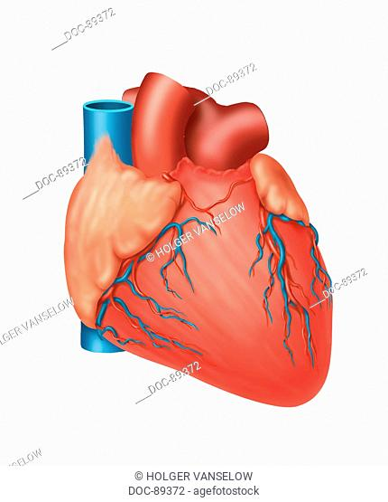 heart closed , with cardiovascularies, without fat