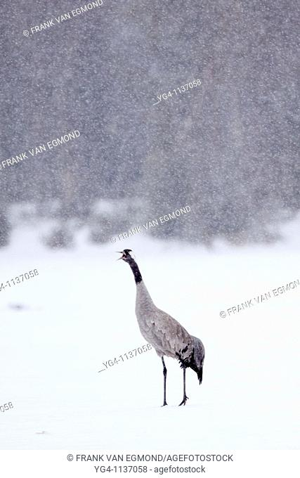 Common Crane on ice during heavy snowfall  Spring 2010  Kuusamo area, Finland