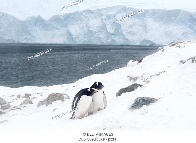 Two gentoo penguins (Pygoscelis papua), Neko Harbour, Antarctica