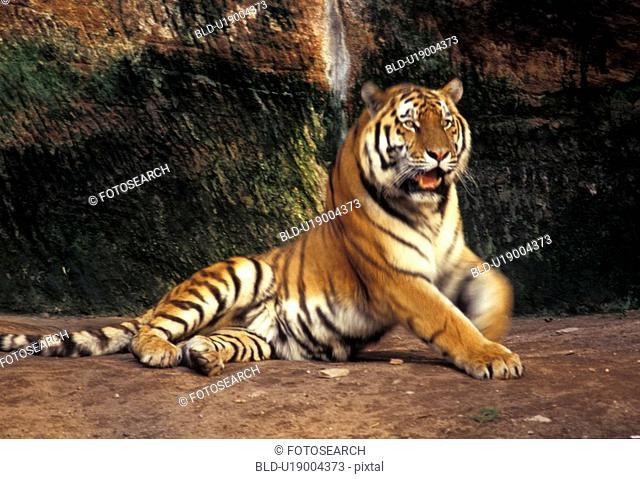 aichner, big cat, animals, aggression