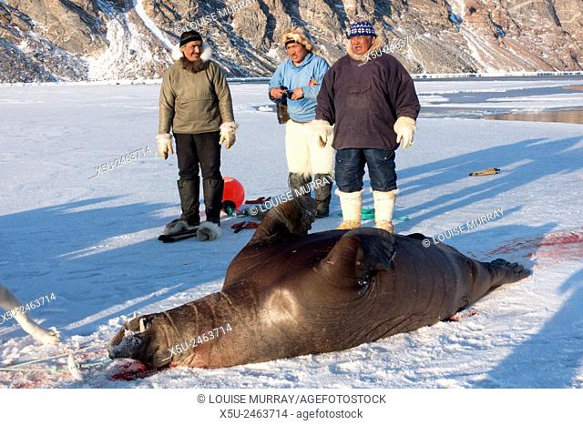 Juvenile walrus hunted using harpoon near Qaanaaq, Greenland is first towed back by boat then dragged up on to the ice for butchery