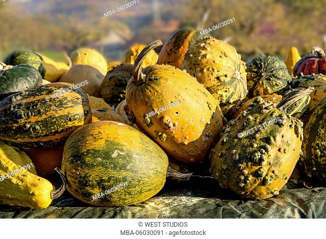 Squash, group, field, sunlight, lat.: Cucurbita, Fam: Pumpkin plants