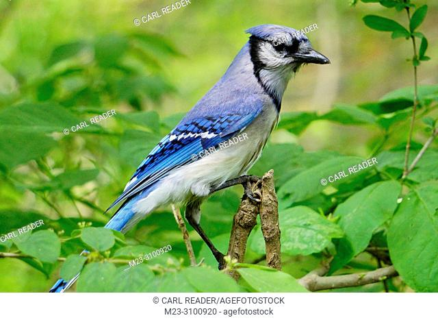 A bluejay, Cyanocitta cristata, looking around from a branch, Pennsylvania, USA
