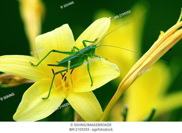 Speckled bush-cricket (Leptophyes punctatissima) on flower, Germany, Europe