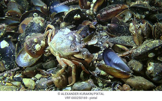 Invasive species of crab (Carcinus maenas) eating mussels, medium shot. Black Sea. Ukraine