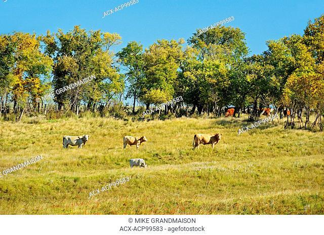 Cattle. Rosenhof Saskatchewan Canada