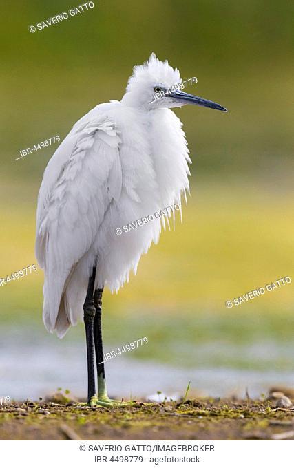 Little Egret (Egretta garzetta), standing in a swamp, ruffling it's feathers, Campania, Italy