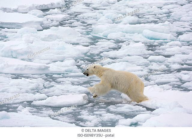 Polar bear (Ursus maritimus), Polar Ice Cap, 81north of Spitsbergen, Norway