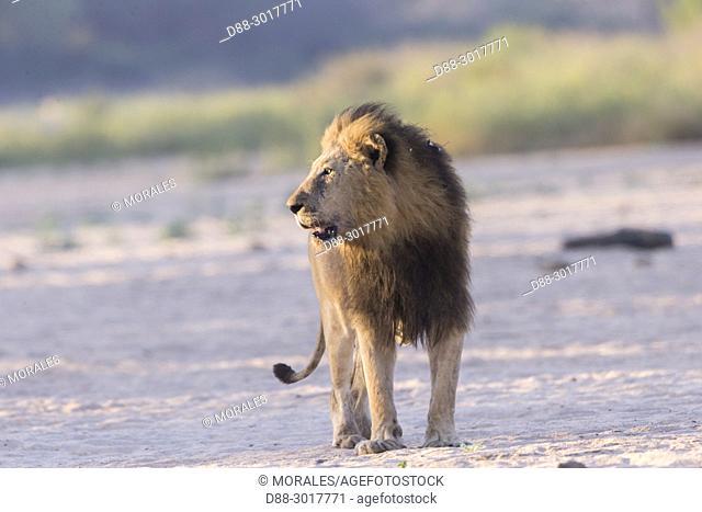 Africa, Southern Africa, South African Republic, Mala Mala game reserve, savannah, Lion (Panthera leo)