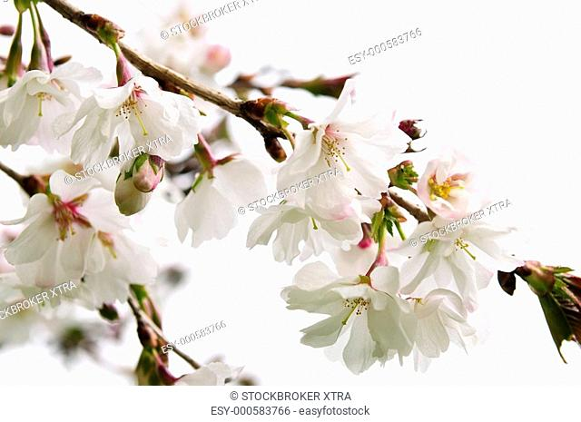 Branches of oriental flowering cherry with blossoms isolated on white background