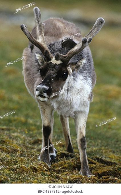 Mammal, Reindeer, Svalbard, Svalbard, Norway, Europe, Rangifer Tarandus Platyrhynchus