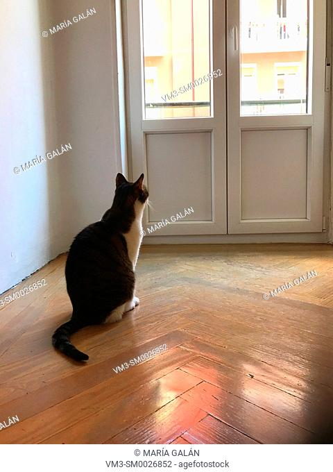 Tabby and white cat sitting in an empty room, looking through the window