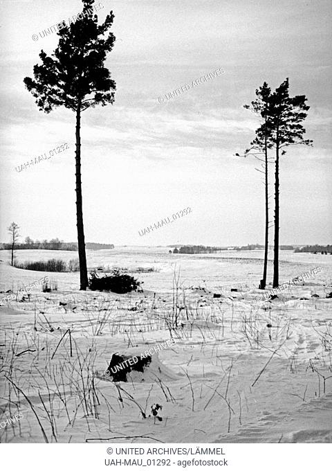 Zwei einsame Fichten im Winter in Ostpreuen, 1930er Jahre. Two lonesome spruces in wintertime in East Prussia, 1930s