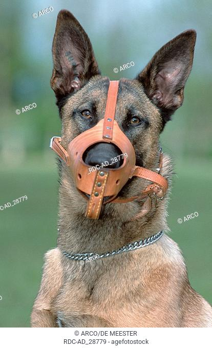 Belgian Malinois with leather muzzle