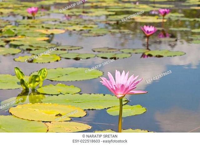 beautiful lotus with water