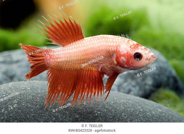 Siamese fighting fish, Siamese fighter (Betta splendens Crowntail), Crowntail, female