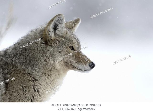 Coyote ( Canis latrans ), in winter, light snowfall, snow, watching concentrated, peeking, hunting, detailled close-up, headshot, Yellowstone NP, USA
