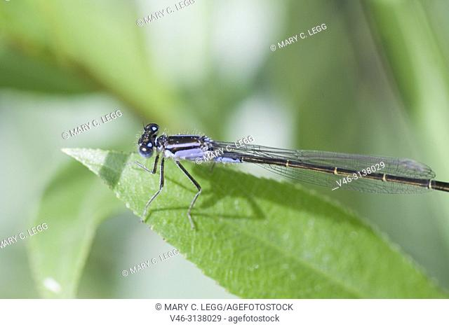 Bluetail Damselfly, Ischnura elegans, blue-tail damselfly belonging to Coenagrionidae. Ischnura elegans has three common color variants, blue, violet and red