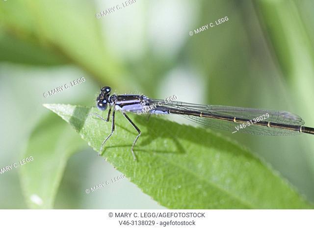 Bluetail Damselfly, Ischnura elegans, blue-tail damselfly belonging to Coenagrionidae. Ischnura elegans has three common color variants, blue, violet and red