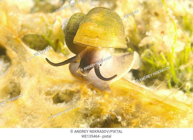 mollusc (Benedictia baicalensis) Lake Baikal, Siberia, Russia